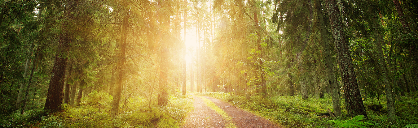 A forest with sunlight shining through